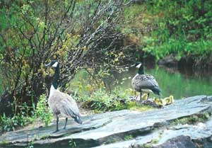 Geese with young ones, a common site at this river mountain resort