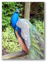 See vivid peacocks here at Leeds Castle